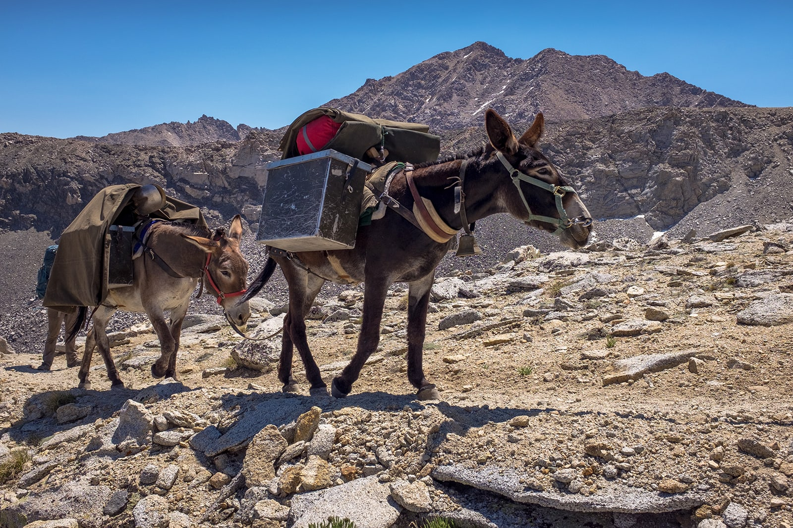Mules carrying climbing gear towards Forrester Pass.